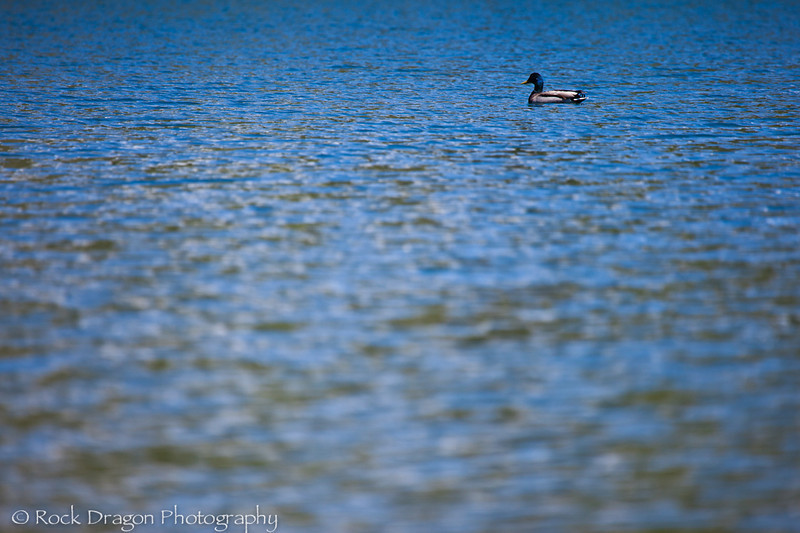 A duck swimmng in the lake.