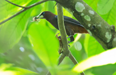 Psarocolius wagleri - Chestnut-headed Oropendola