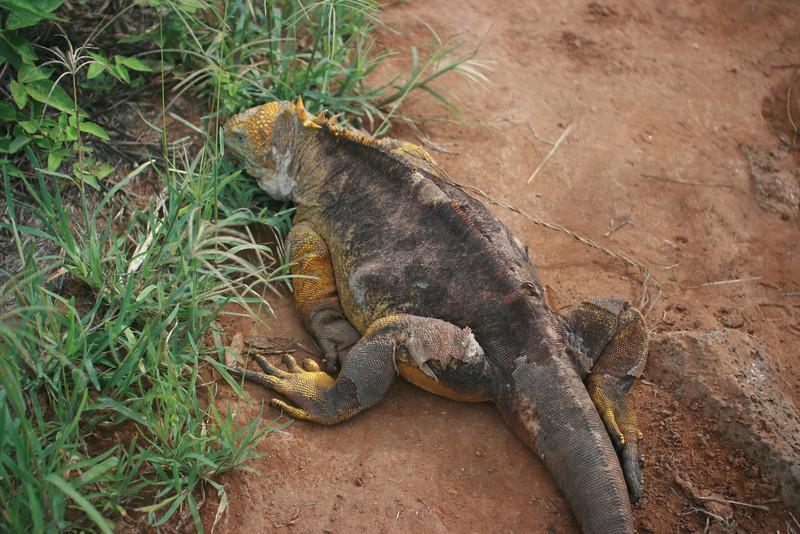 Land iguana molting