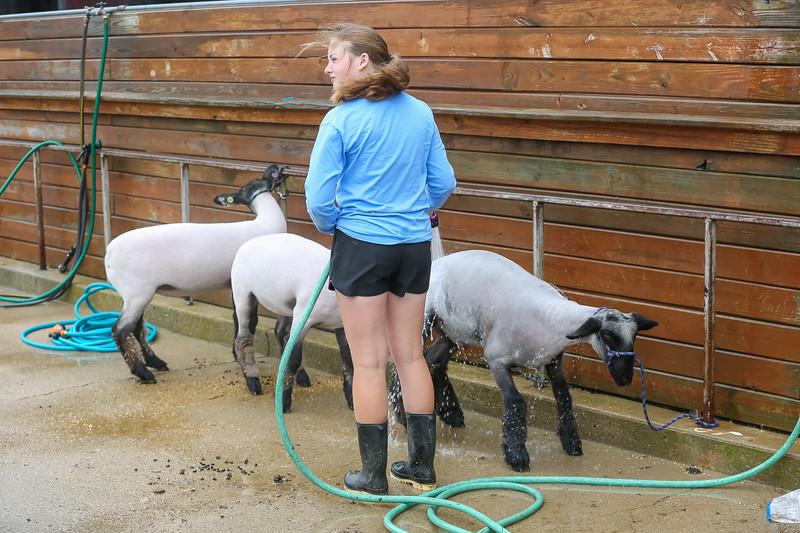 Sheep Show-15.jpg