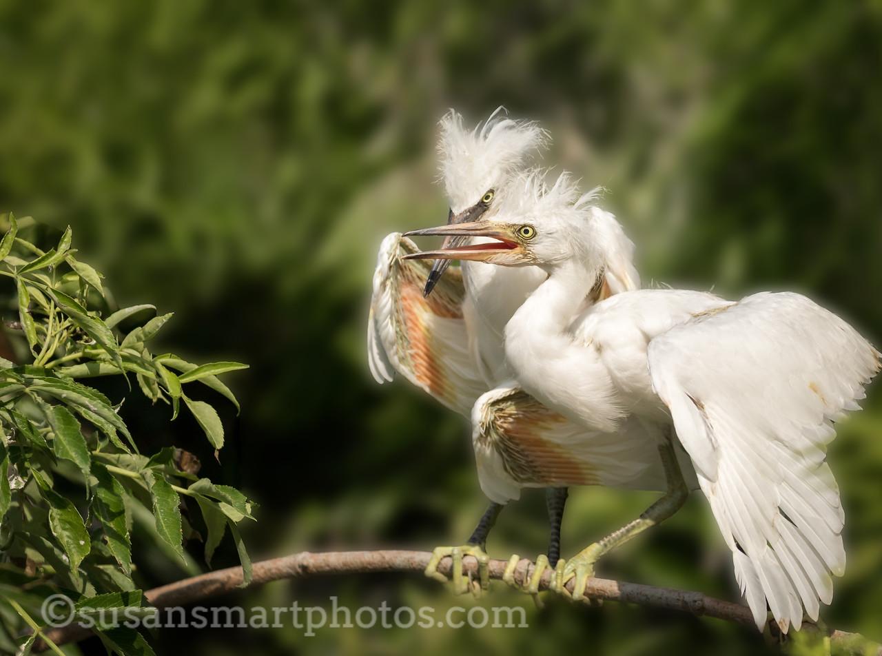 Snowy Egret Chicks