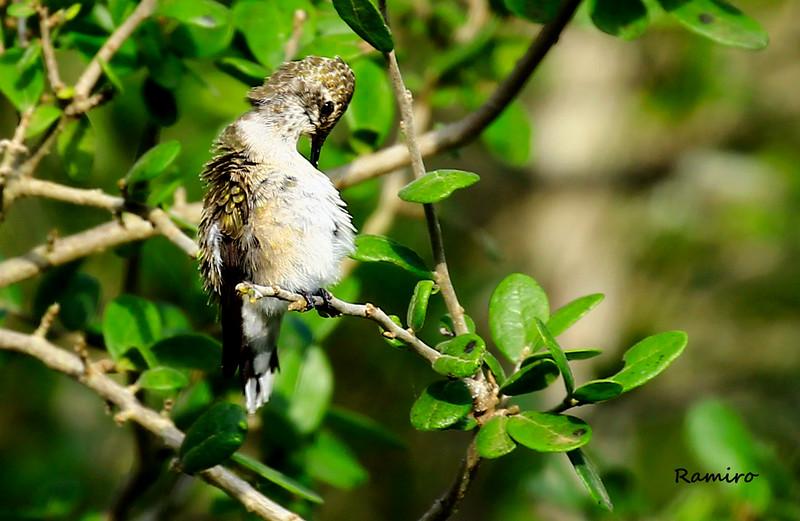 Hummingbird 7-11-15 106.jpg