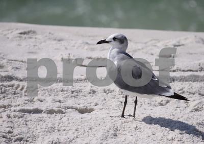 Seagulls in Florida