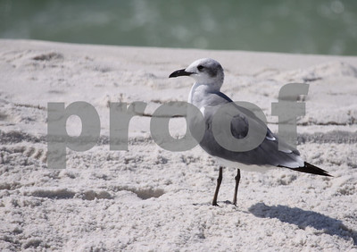 Seagulls in Florida