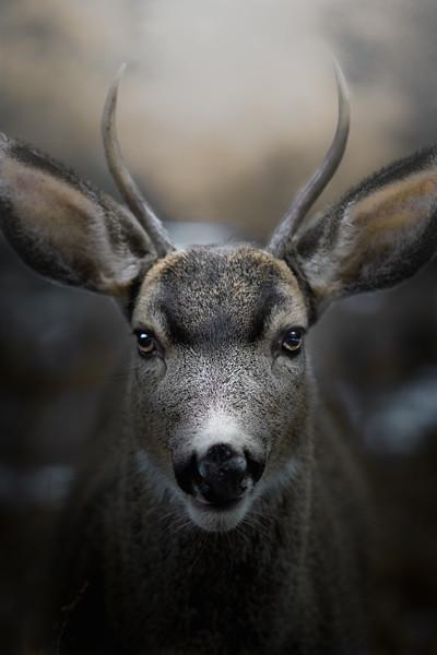 Young Mule Deer Buck Portrait
