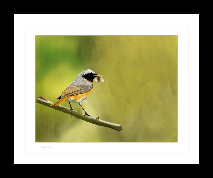 Redstart frame.jpg