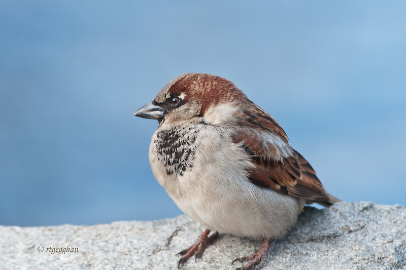 Jan 31_Sparrow on a Rock_1173..jpg