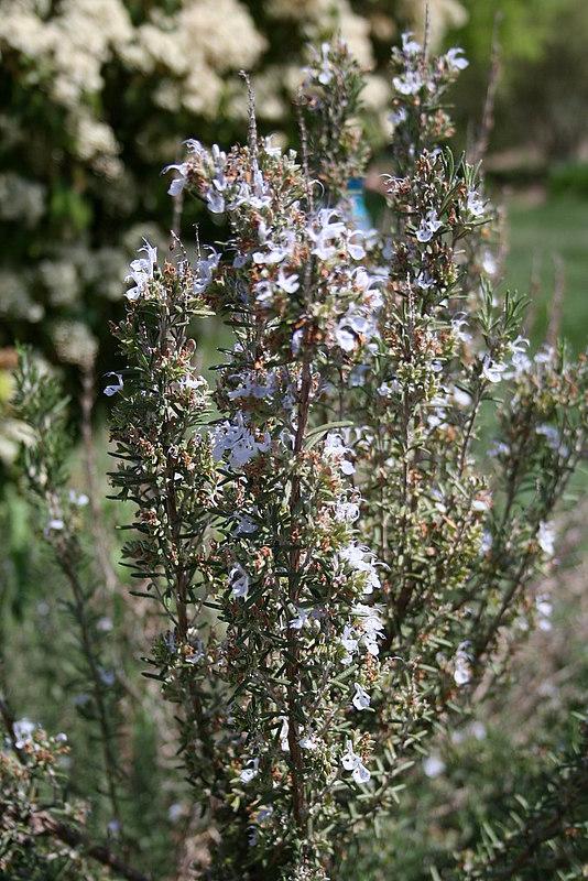 Rosemary - John Kirkpatrick Horticulture Center