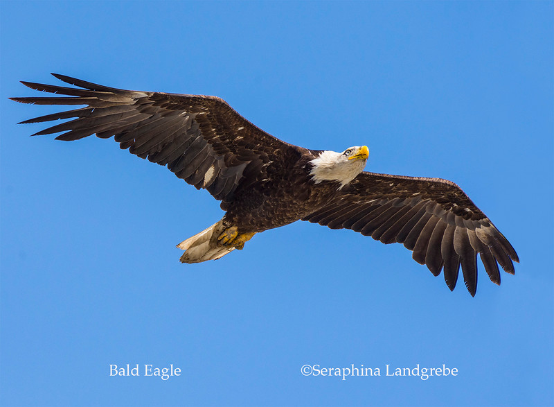 _DSC3706Eagle flight.jpg
