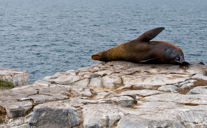 A bull sea lion scratching his back on the edge of a cliff, South Plaza Island