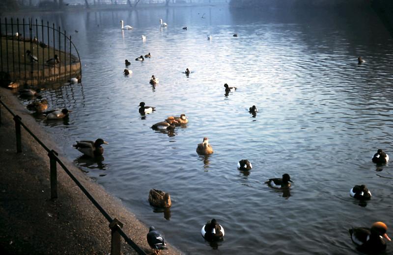 1960-2-5 (32) Ducks in St James Park, London.JPG