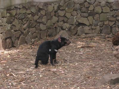 Tasmanian Devil Park, Jan 2008