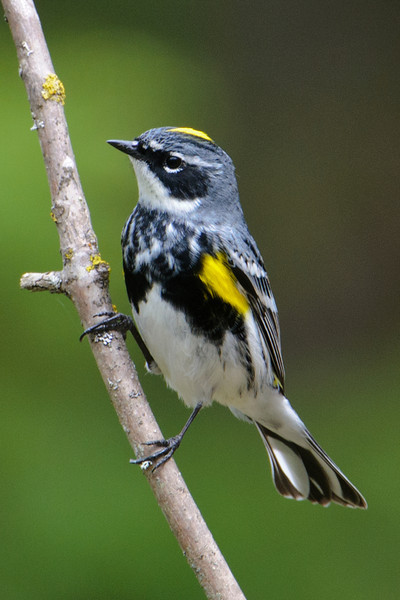 Warbler - Yellow-rumped - Dunning Lake - Itasca County, MN