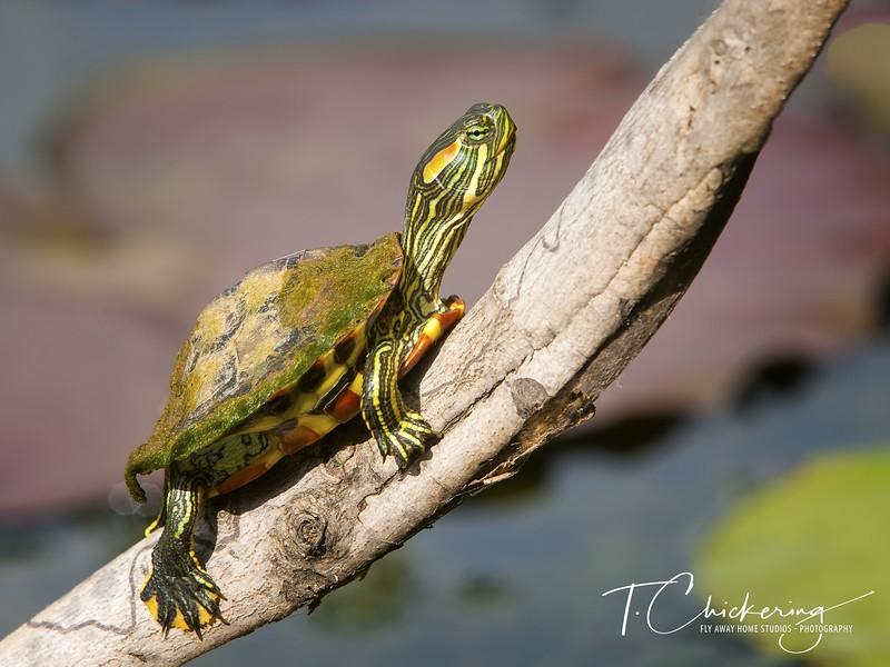 Turtle Five-1505697155293.jpg