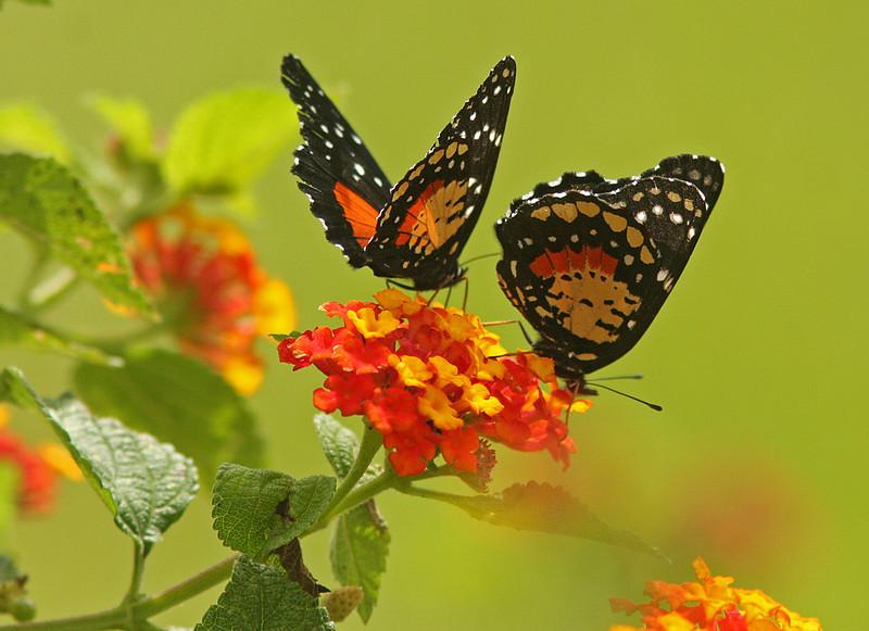 WB~CR Twobutterflies1280.jpg