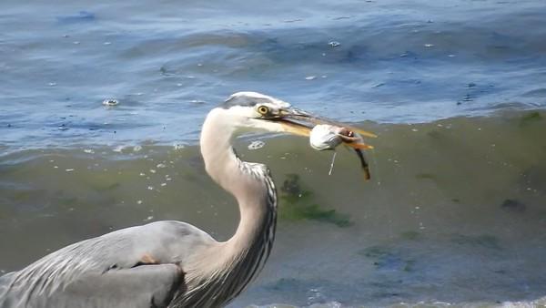 Heron swallows a fish