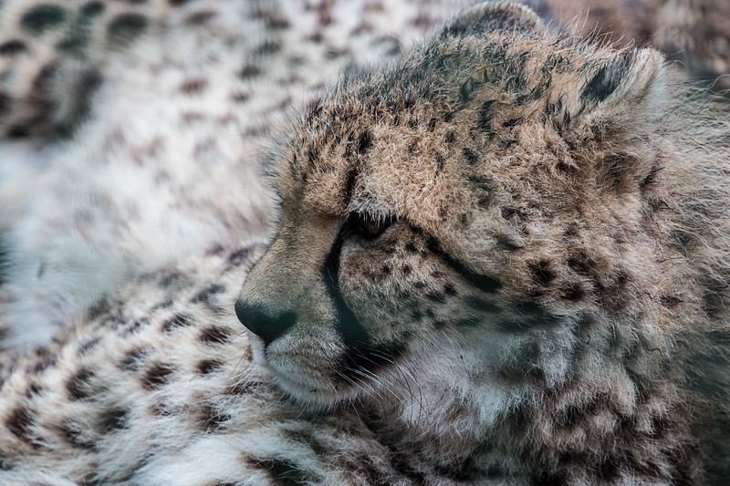 Southern Cheetah (Willow)