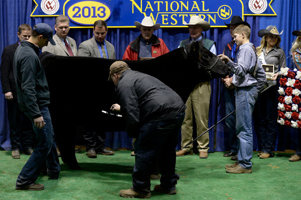 . DENVER, CO- JANUARY 24:    Junior market beef grand champion winner Shilo Schaake,  15, of West Morlin, Kansas, right, tries to keep his steer Trevor calm as officials prep him for an official photograph inside the Stadium Arena.  The Junior market beef grand champion and reserve grand  champion were chosen in the Stadium Arena at the National Western Stock Show on January 24th, 2013.  The two large mixed breed steer will be auctioned off January 25th. (Photo By Helen H. Richardson/ The Denver Post)