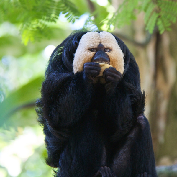 White Faced Saki Monkey