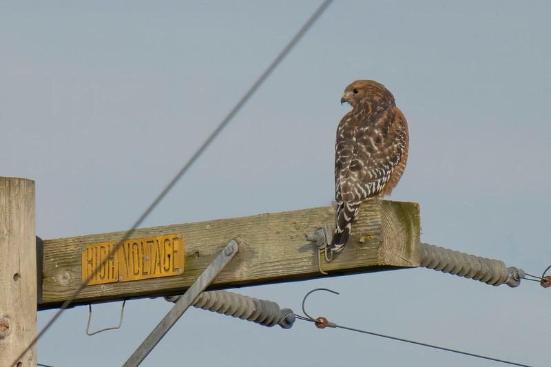 Red-shouldered Hawk at Point Reyes