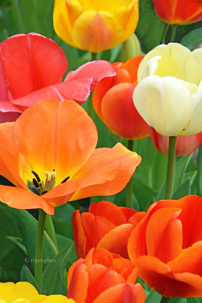 Tulip Garden Delight
