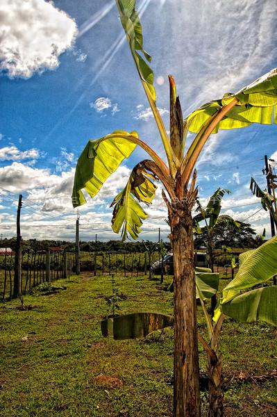 View of a Banana Tree4