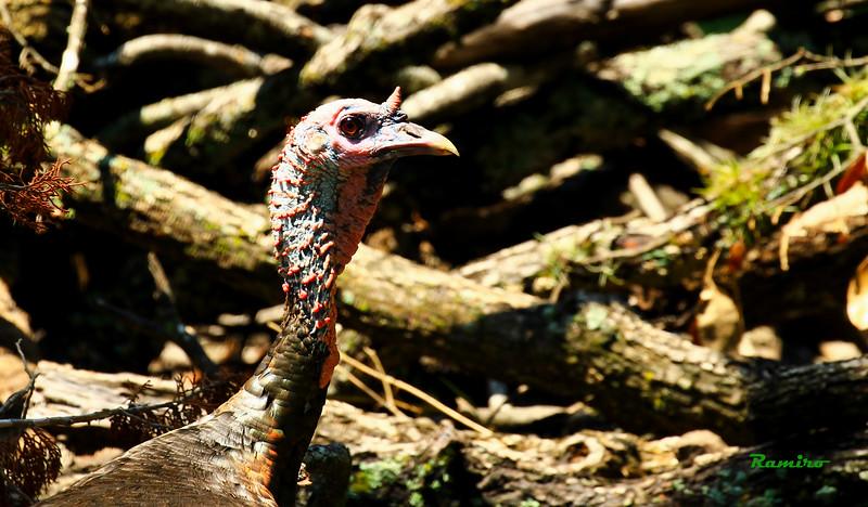 Wild Turkey 8-15-15 230.jpg