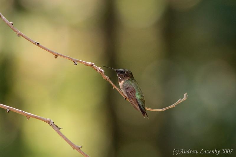 Ruby Throat Hummingbird perched.jpg