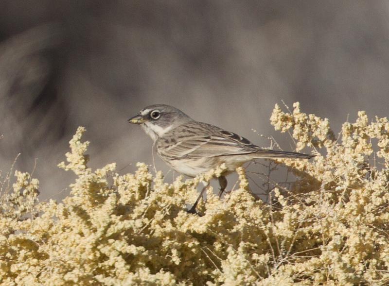 Sagebrush Sparrow Borrego Springs  2015 11 14-1.CR2-1.CR2