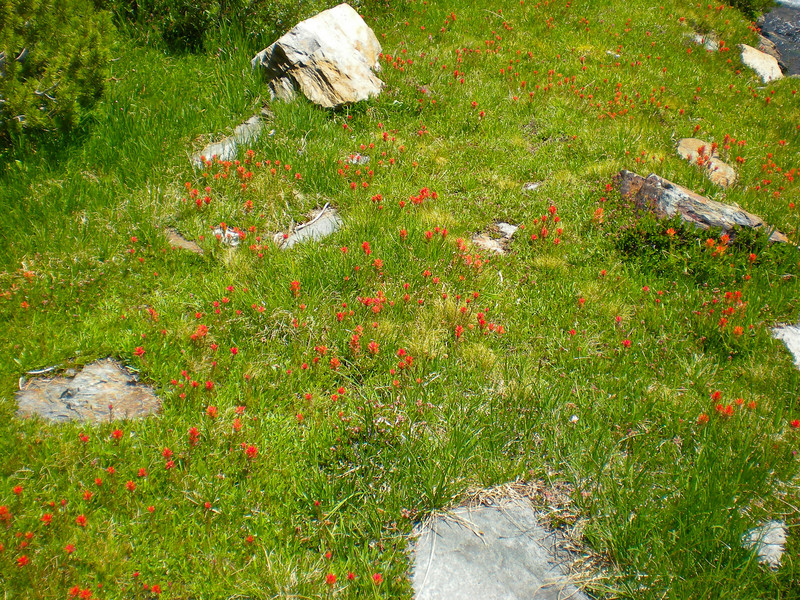 Wonderful surprise on the meadows, Indian Paintbrush is blooming.