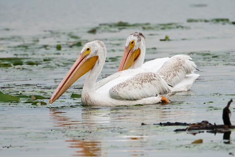 Pelican - American White - Lake Vadnais - Vadnais Heights, MN - 01