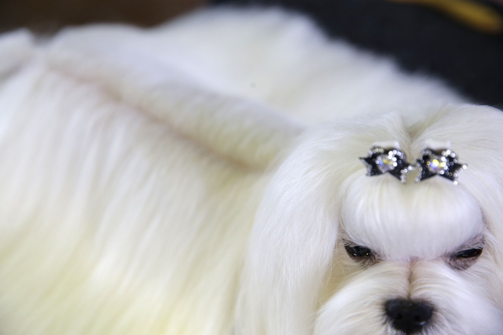 . A Maltese named Smarty waits to compete at the Westminster Kennel Club show in New York, Monday, Feb. 16, 2015. (AP Photo/Seth Wenig)
