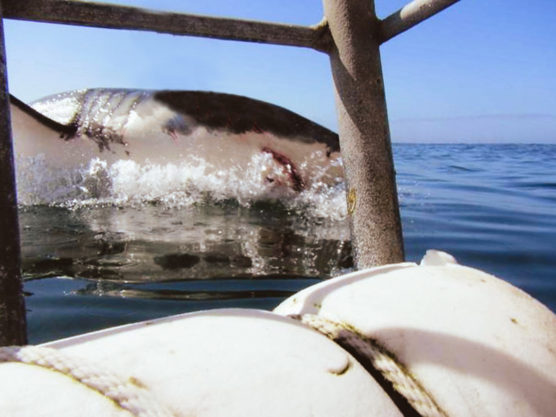 Shark skimming the water on its side