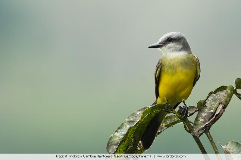 Tropical Kingbird - Gamboa Rainforest Resort, Gamboa, Panama