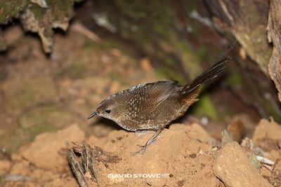 Rufous Scrub-bird