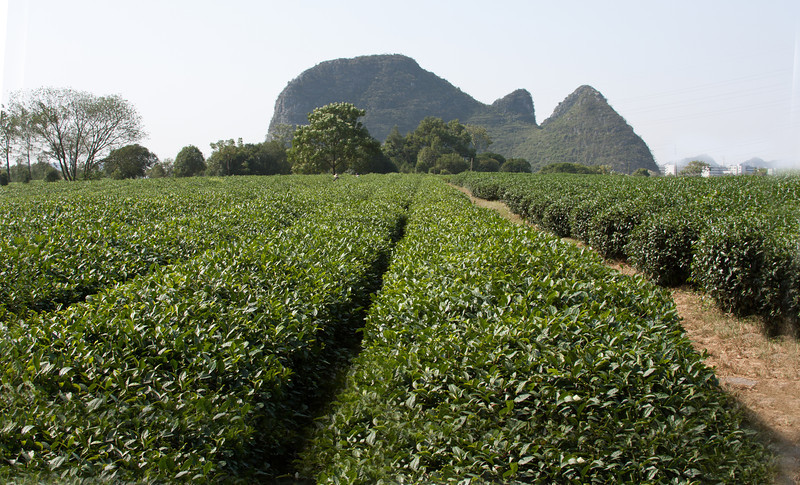 Tea plantation, Guilin, China