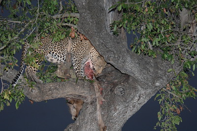 7-13-2015 Leopard with Waterbuck