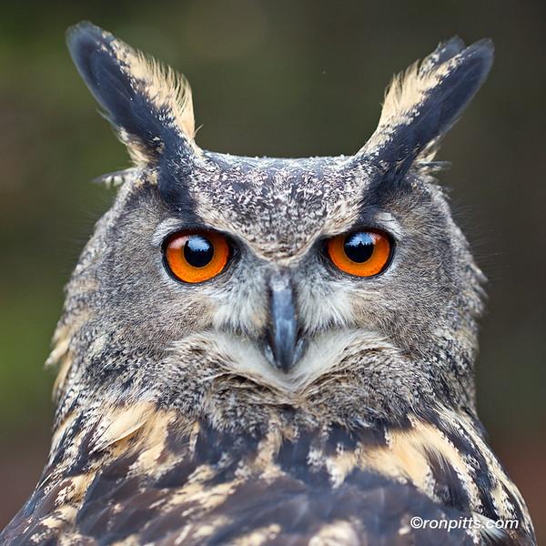 sm owl M4D7543.jpg