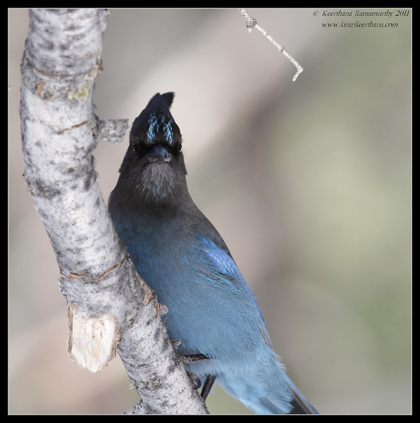 Steller's Jay, Mt. San Jacinto State Park, Palm Springs, California, March 2011
