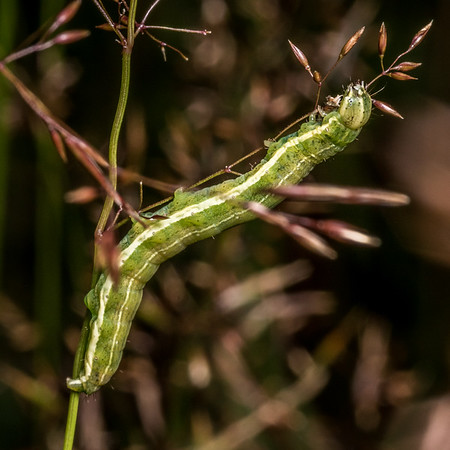 Unidentified caterpillars