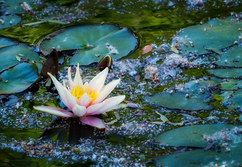 Water Lilly.jpg