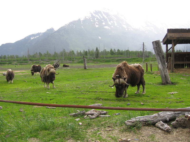 Musk Oxen Romping