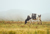 Free-range milk cows grazing on a pasture