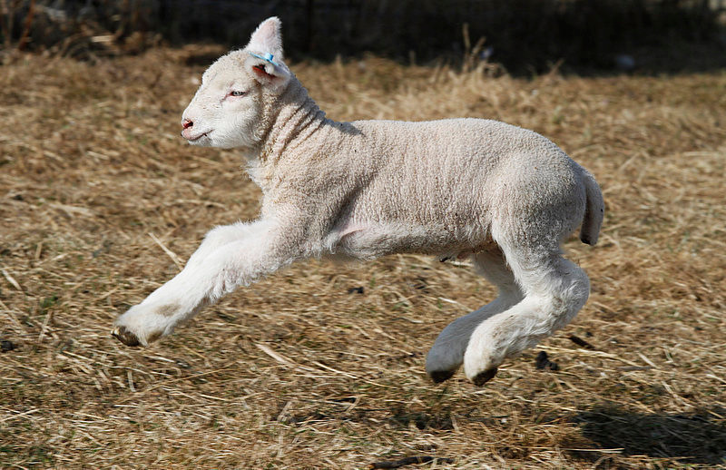 . A lamb flies through the air in a pasture at the Comstock House Bed & Breakfast on Monday, March 19, 2012 in Plainfield, Vt.(AP Photo/Toby Talbot)