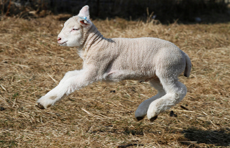 Description of . A lamb flies through the air in a pasture at the Comstock House Bed & Breakfast on Monday, March 19, 2012 in Plainfield, Vt.(AP Photo/Toby Talbot)