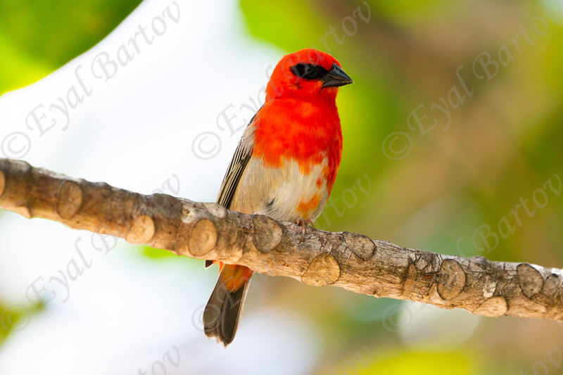 red fody male  (Foudia madagascariensis) .jpg