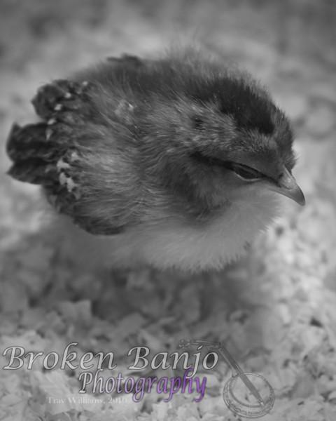 Chicks077high.JPG