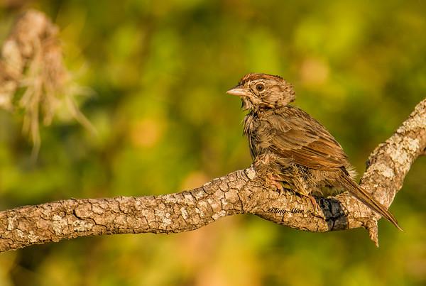 Rufous-crowned Sparrow_DWL6973.jpg