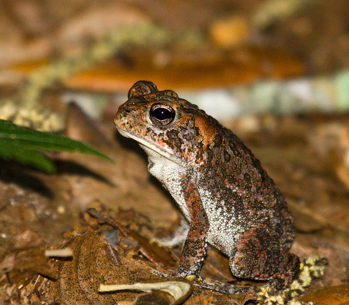 forest toad