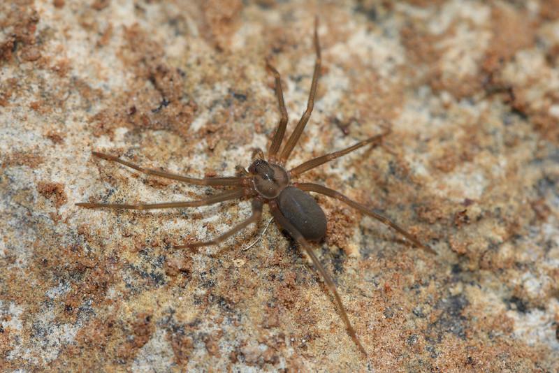 Texas Recluse Spider - Loxosceles devia